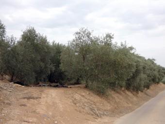El sector del olivar es el que más afectado se está viendo por la sequía. FOTO: P. CASTILLO