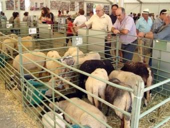 La oveja lojeña en la última edición de la Feria de Ganado de Loja. FOTO: PACO CASTILLO.
