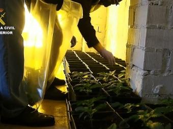 parte de la plantación de cannabis sativa incautada por la Guardia Civil. GUARDIA CIVIL.